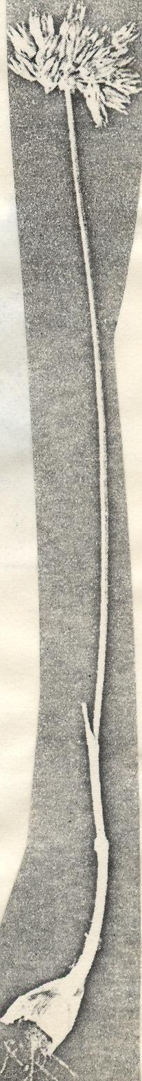 Allium%20bracteolatum.jpg