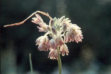 Allium%20brevicaule.jpg