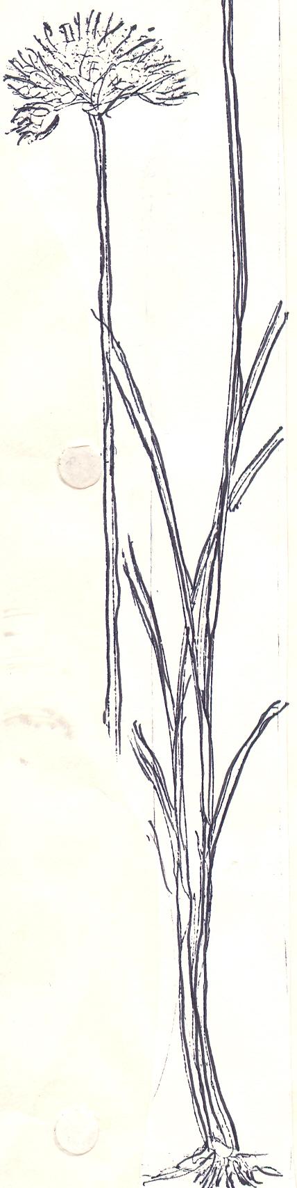 Allium%20brevidentatum2.jpg