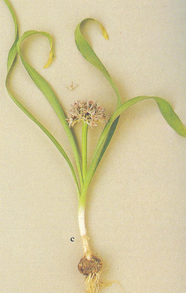 Allium%20breviscapum.jpg