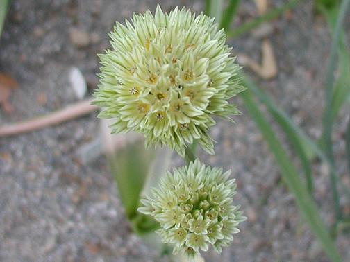Allium%20darwasicum.jpg