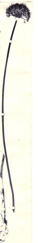Allium%20dasyphyllum.jpg