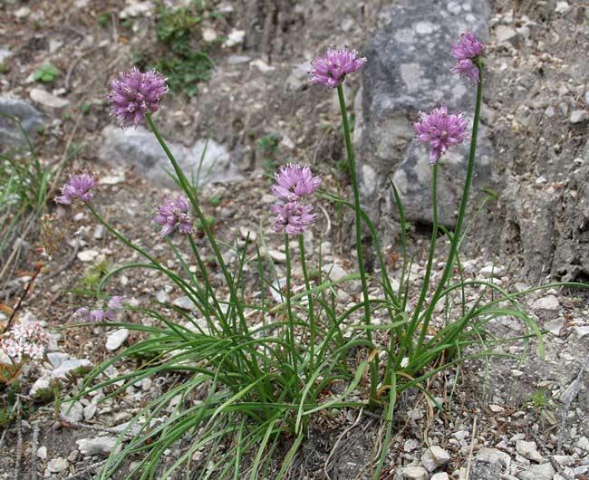 Allium%20dauricum.jpg