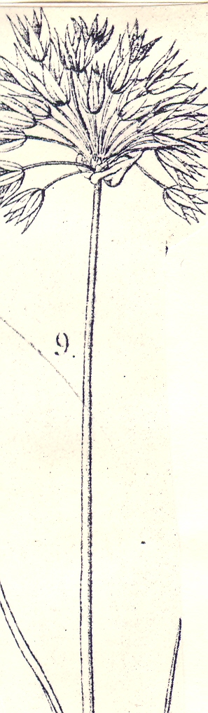 Allium%20delicatulum.jpg