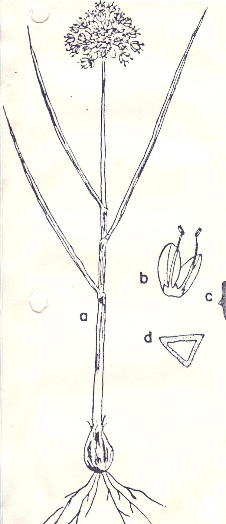 Allium%20deltoide-fistulosum.jpg