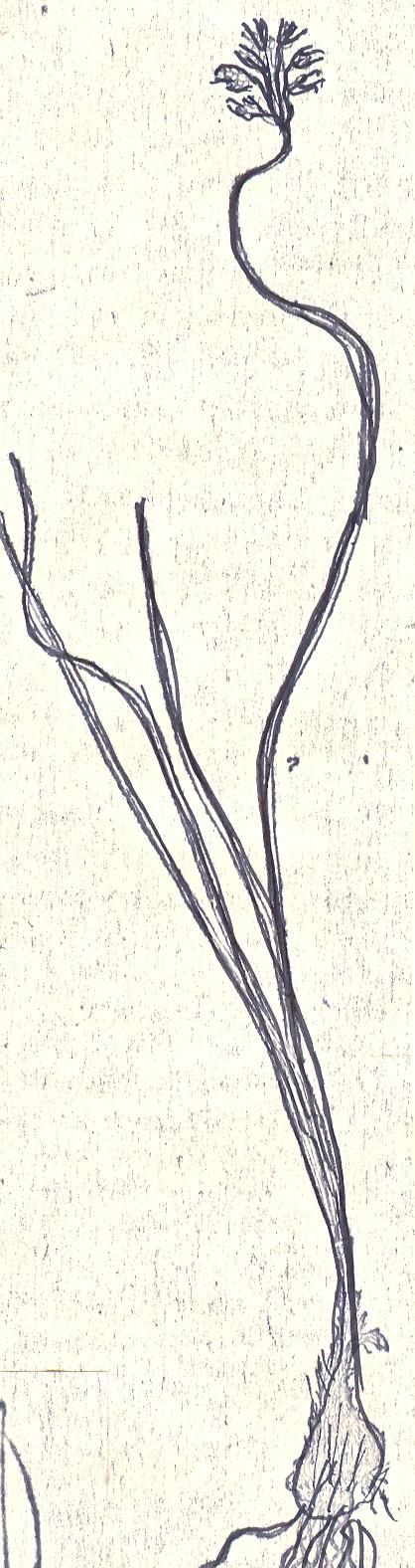 Allium%20deserti-syriaci.jpg