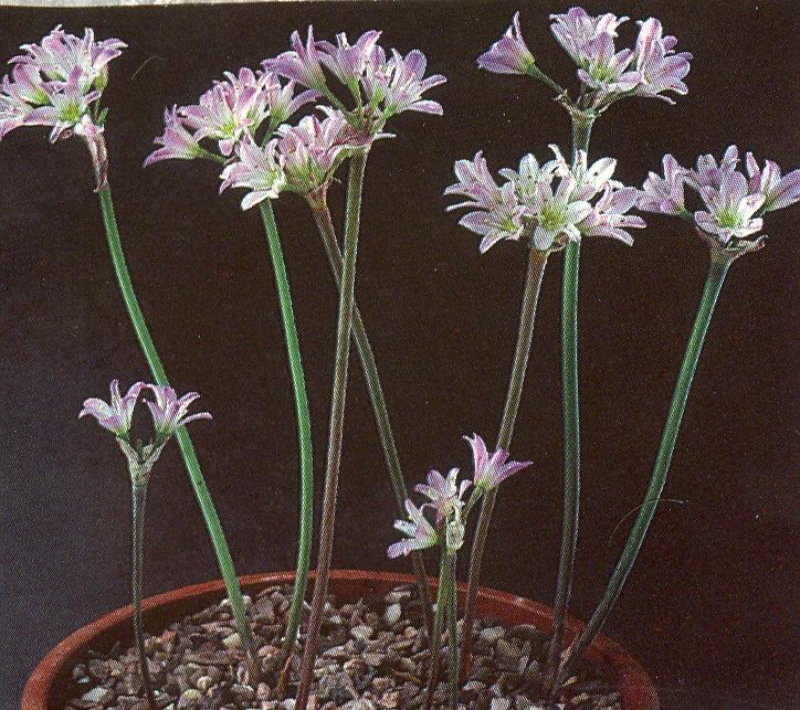 Allium%20dichlamydeum.jpg
