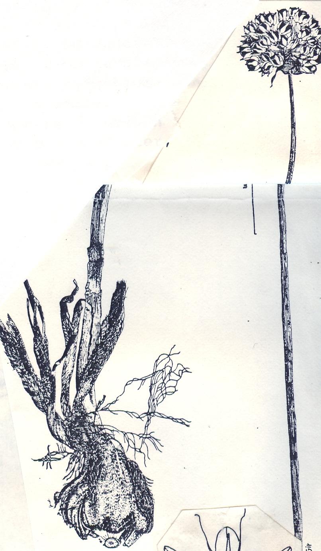 Allium%20dictyoscordum(1).jpg