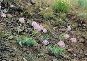 Allium%20dictyotum.jpg