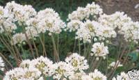 Allium%20dilatatum.jpg