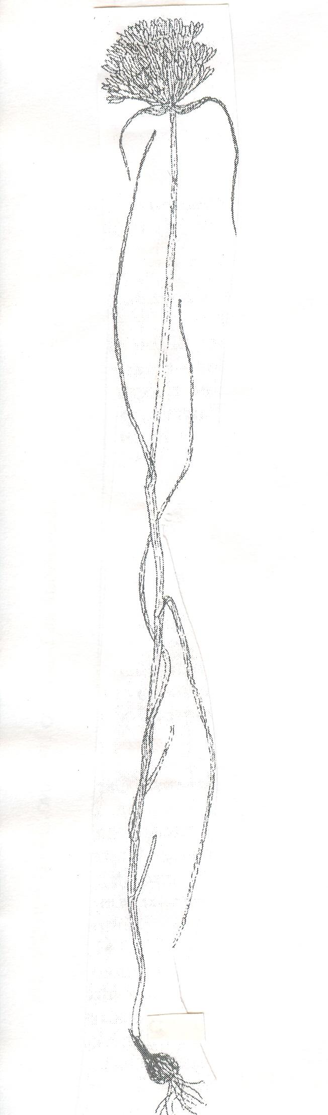 Allium%20diomedeum.jpg