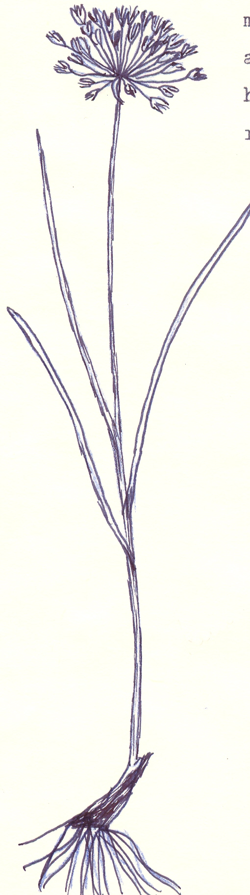 Allium%20dolichomischum.jpg