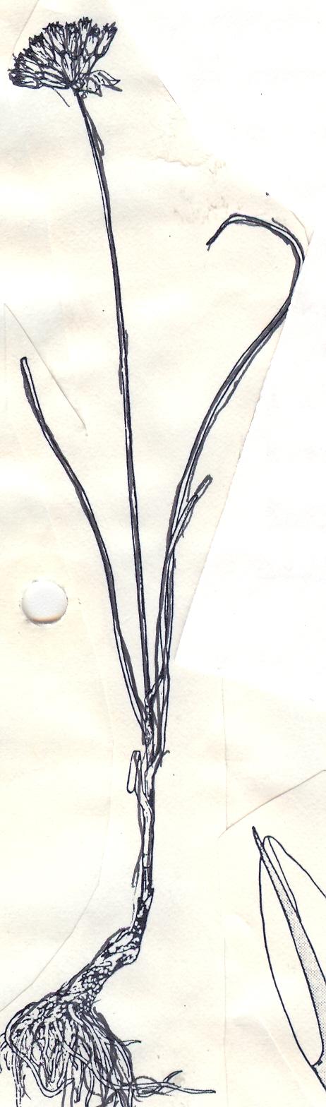 Allium%20dolichostylum.jpg