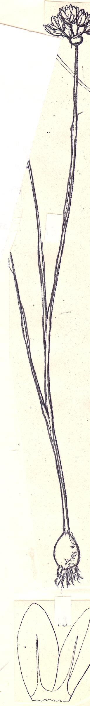 Allium%20doloncarense.jpg