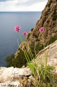 Allium%20ebusitanum.jpg