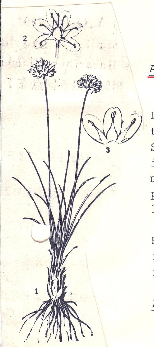 Allium%20edentatum.jpg