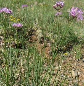 Allium%20eduardii%20foto2.jpg