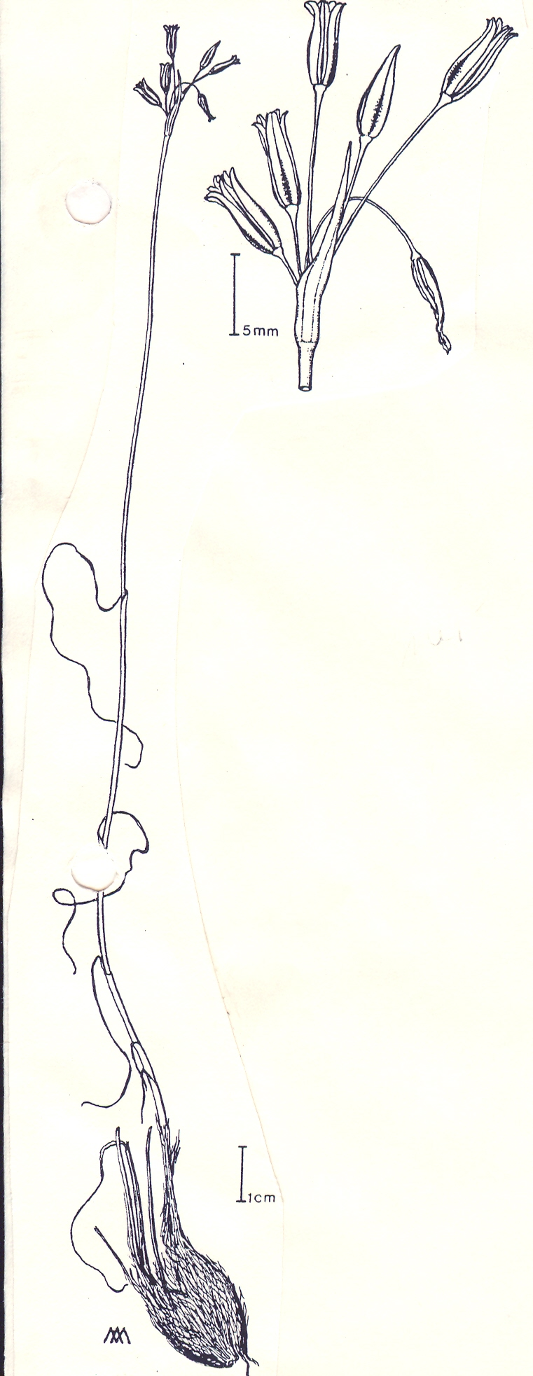 Allium%20eivissanum.jpg