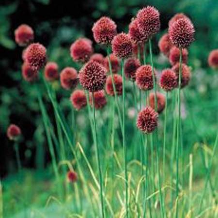 Allium%20eldivanense.jpg