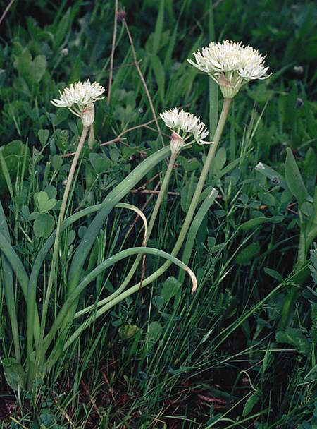 Allium%20elmaliense.jpg