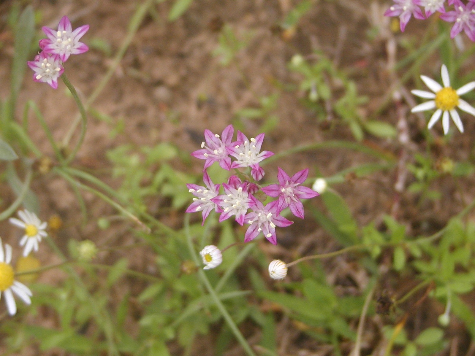 Allium%20elmendorfii.jpg