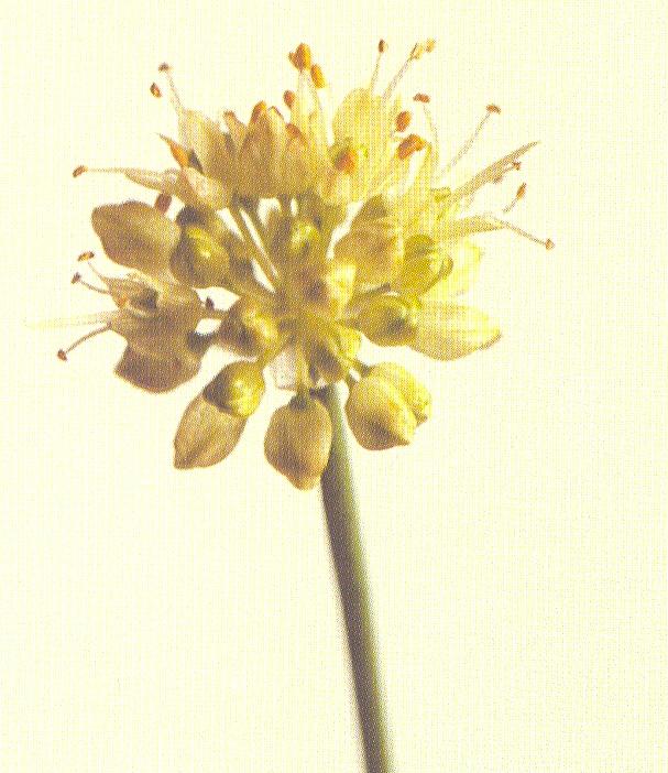 Allium%20ericetorum.jpg