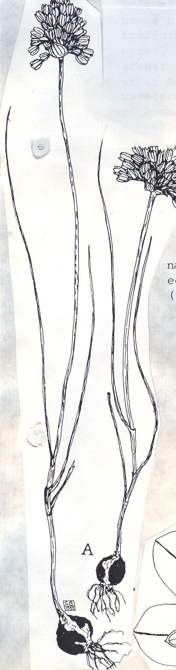 Allium%20erythraeum.jpg