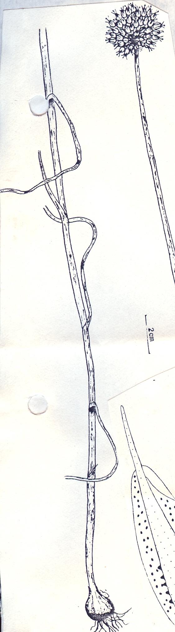 Allium%20esfandiarii.jpg