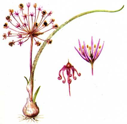 Allium%20eugenii.jpg