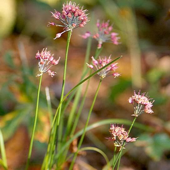 Allium%20eusperma.jpg