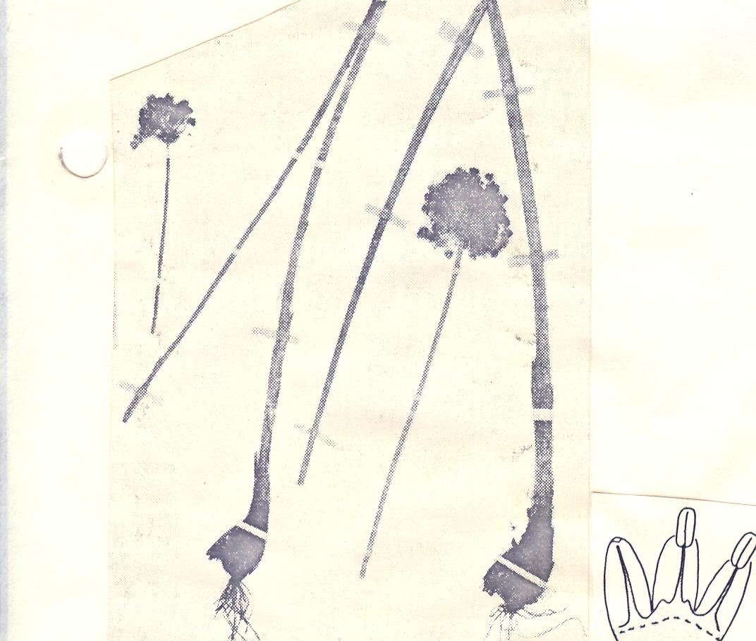 Allium%20farctum.jpg