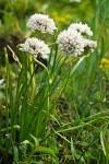 Allium%20fibrillum.jpg