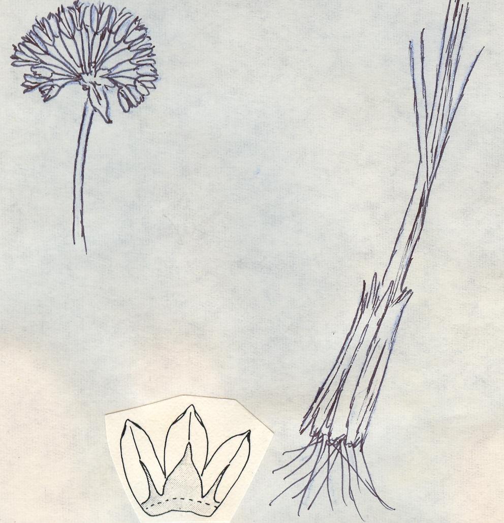 Allium%20fibrosum.jpg