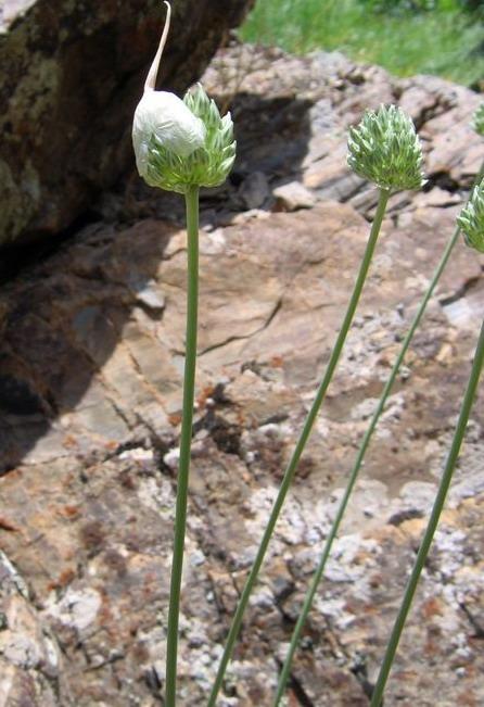 Allium%20filidens.jpg