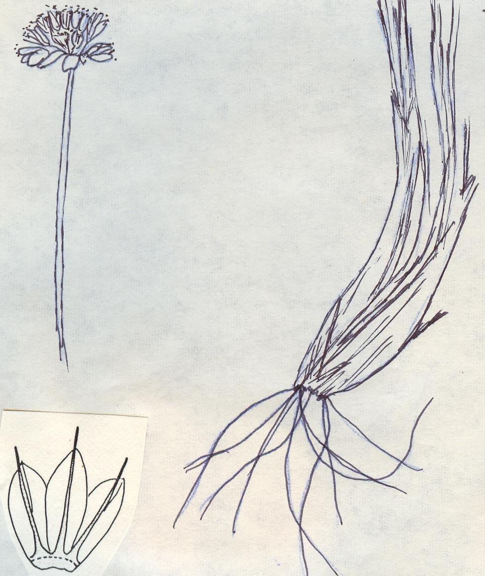 Allium%20filifolium.jpg