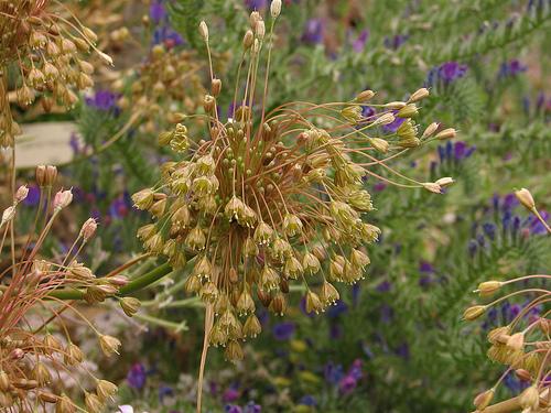 Allium%20frigidum.jpg