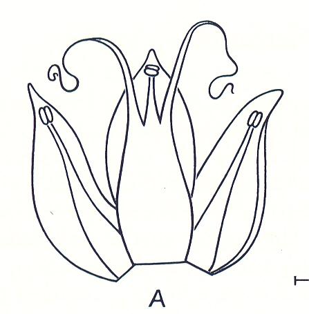 Allium%20fritschii.jpg