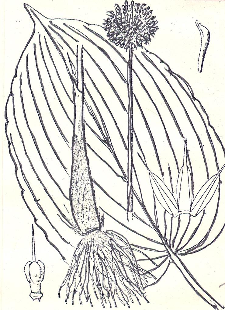 Allium%20funckiaefolium.jpg