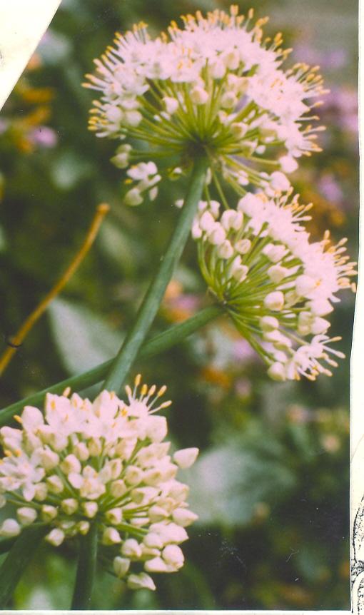 Allium%20galanthum.jpg