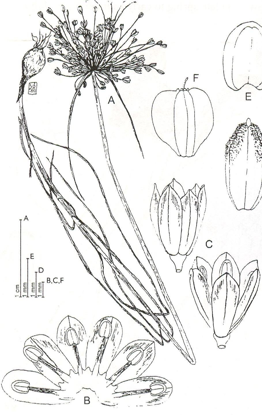 Allium%20galileum(1).jpg