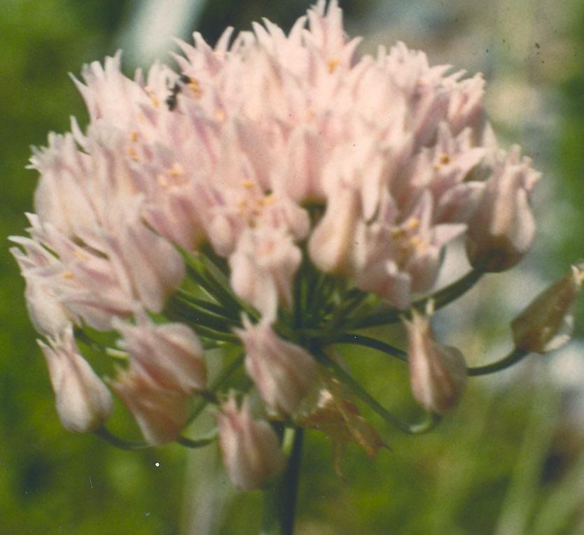 Allium%20geyeri.jpg