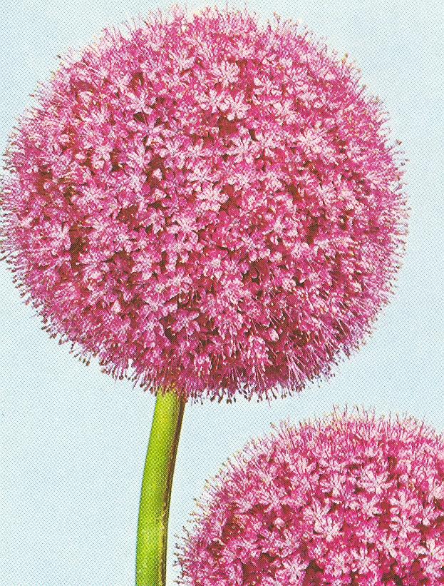 Allium%20giganteum.jpg