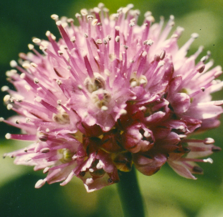 Allium%20glaciale.jpg