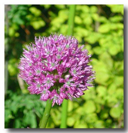 Allium%20globosum.jpg