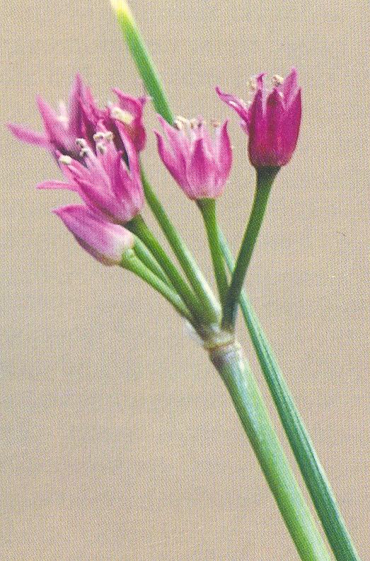 Allium%20goodingii.jpg