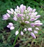 Allium%20gracilescens.jpg