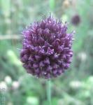 Allium%20gramineum.jpg