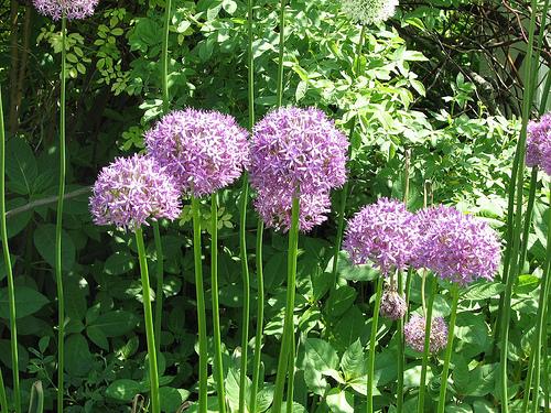 Allium%20grande.jpg