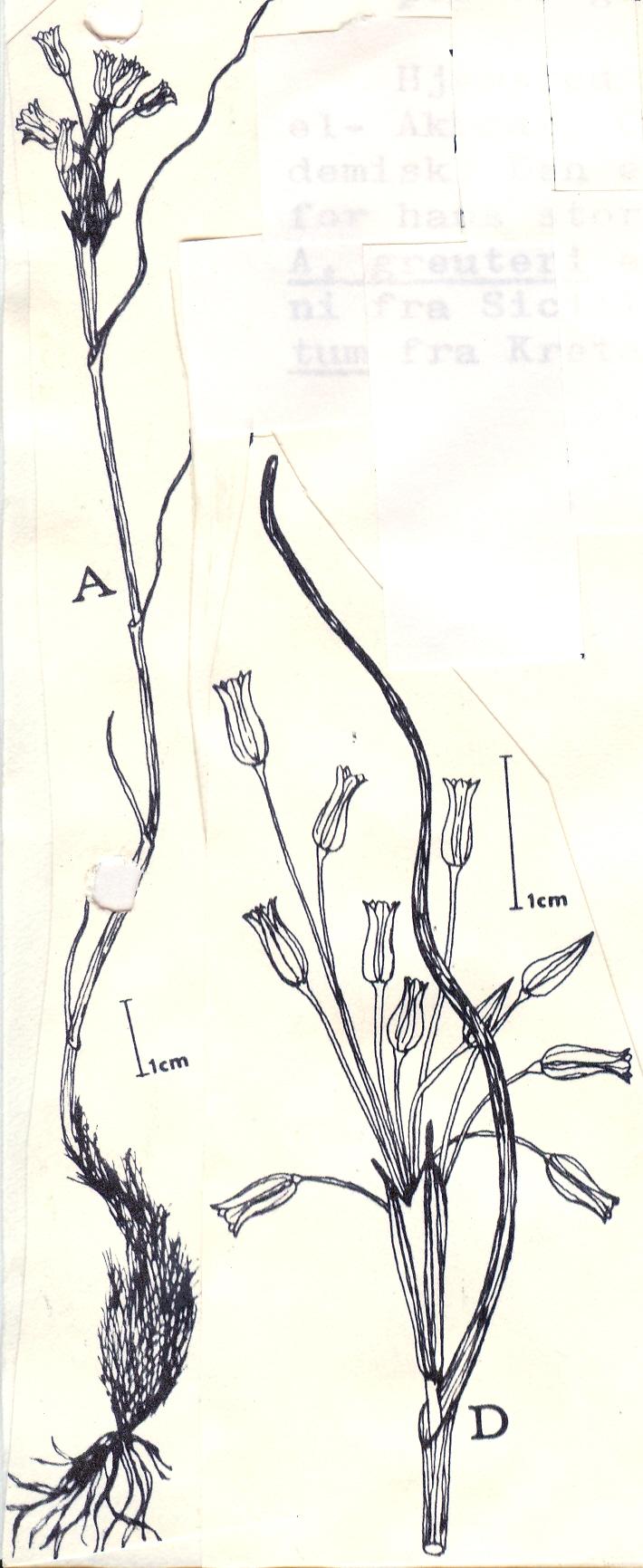 Allium%20greuteri.jpg