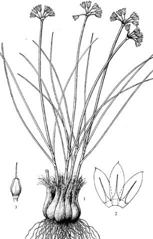 Allium%20grisellum.jpg